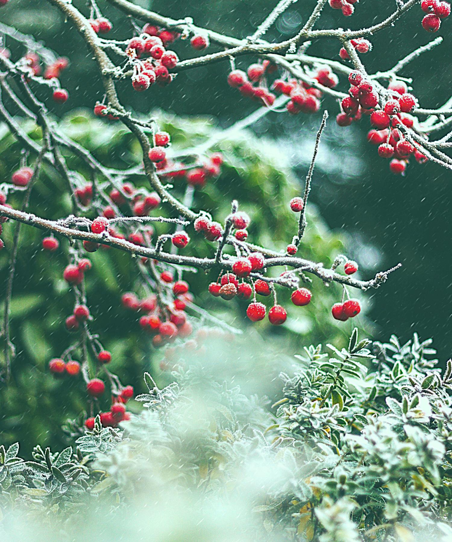 Winter_2021_berries
