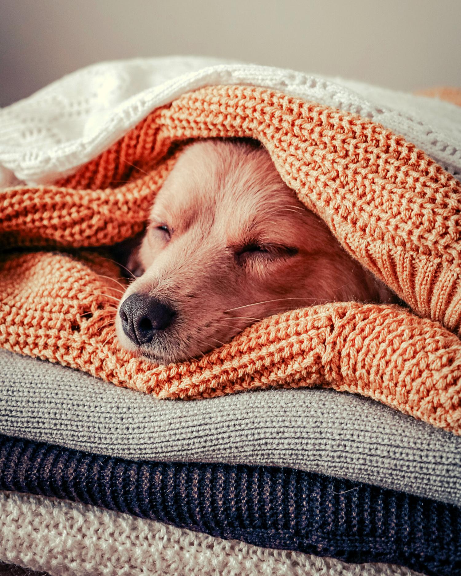Winter_2021_Dog in blankets